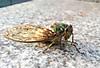 Green_cicada