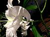Azabuflower