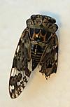 Cicada0814